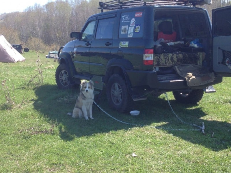 с собаками на машине