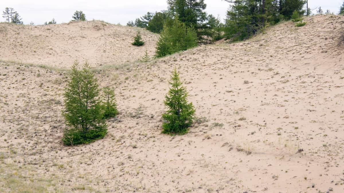 ёлочки в барханах, монгольские пески