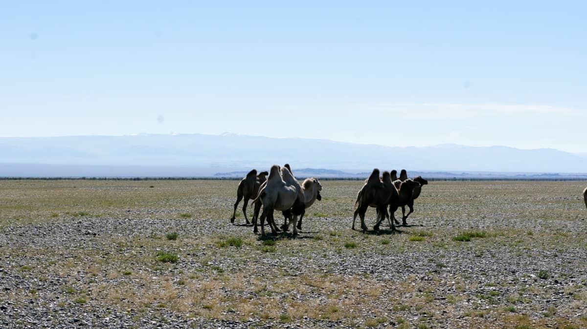 монгольские верблюды