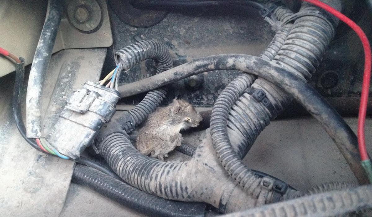 под капотом завелась мышь
