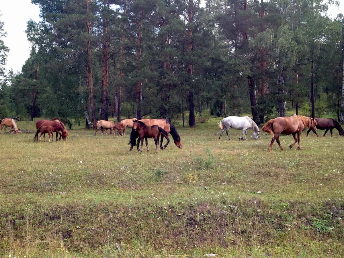 башкирские кони