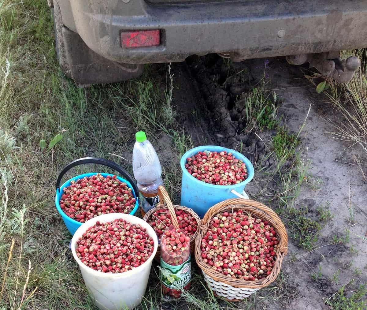урожай дикой клубники в курганской области
