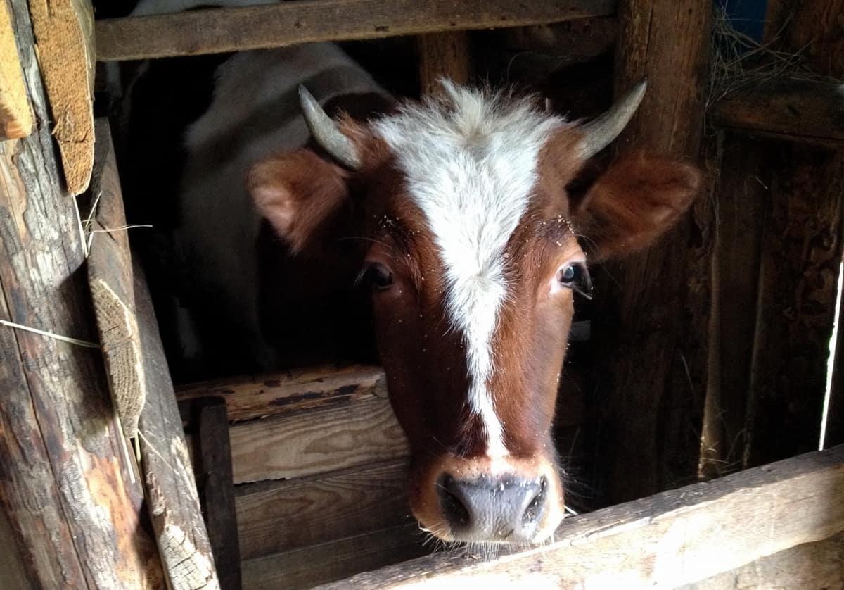 корова рыжая, Курганская область