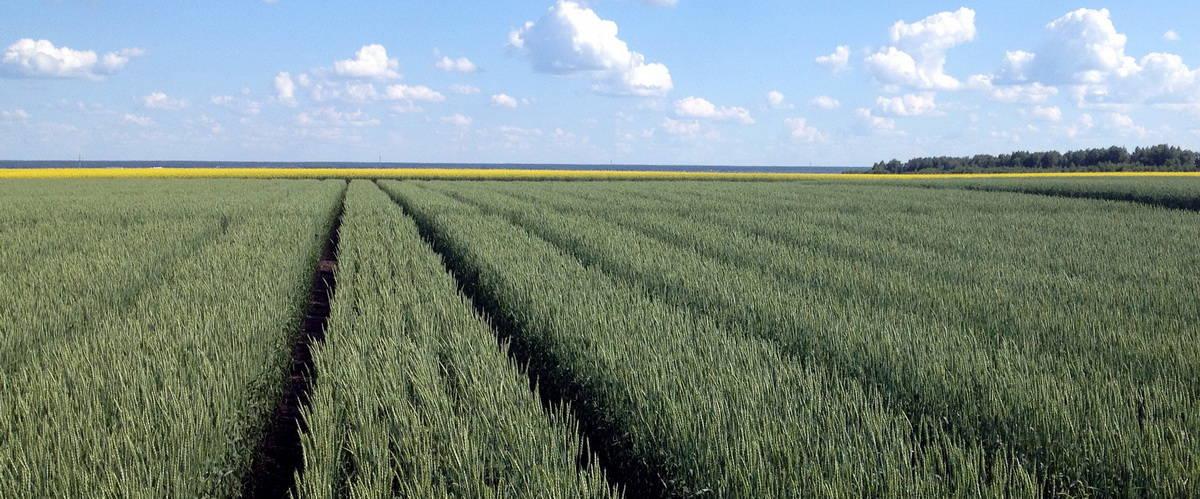 опытные посадки зерновых КНИИСХ