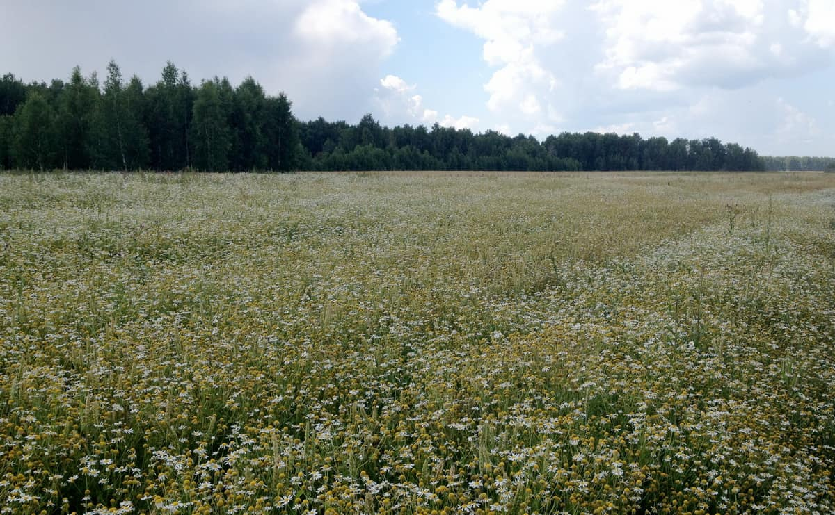 поле ромашки лекарственной