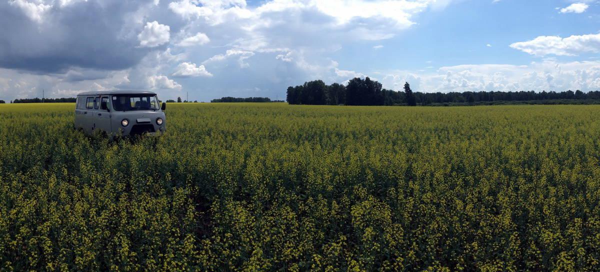 поле с рапсом, цветение
