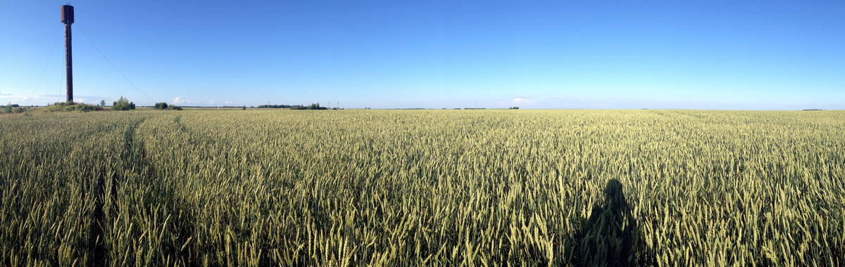 поле с пшеницей, панорама