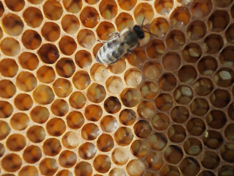 личинки пчёл, bee larvae