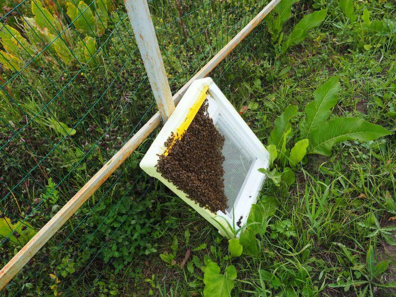 трутневая пчелиная семья, drone bee family