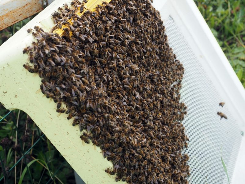 пчелиная семья без матки, a bee family without a queen