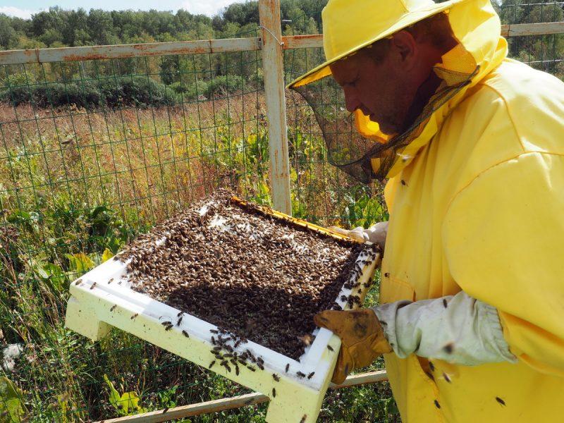 пчеловод осматривает пчел, beekeeper inspects bees