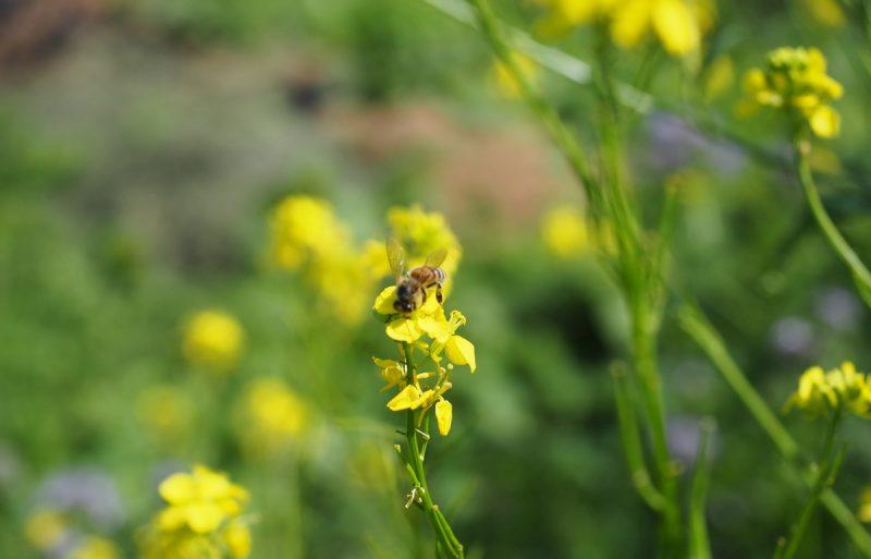 сурепка для пчёл