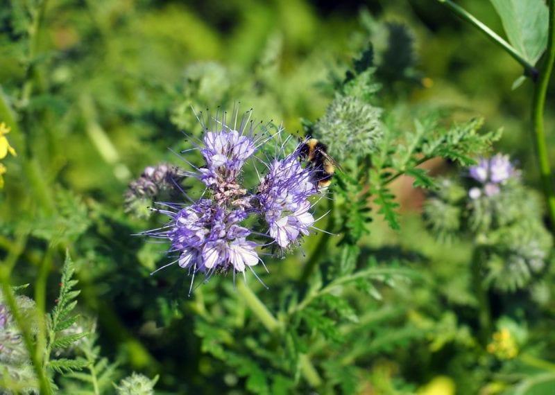 фацелия для пчёл